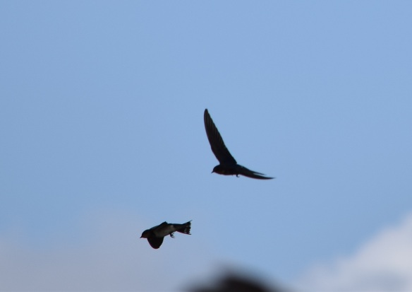 a Swallows in flight (18)s