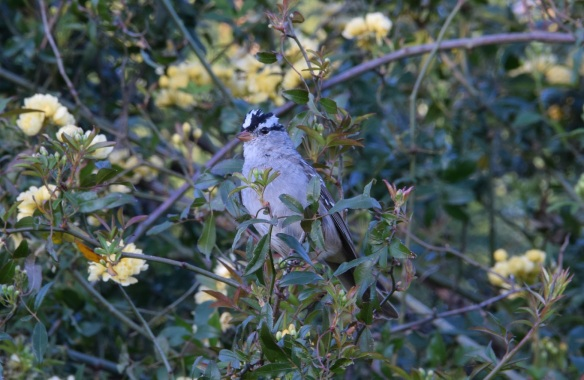White crowned sparrow in the yellow Lady Banks rose bush