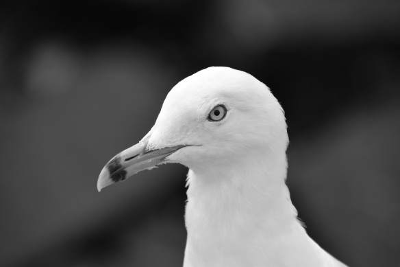 Head (Gull) B&Ws