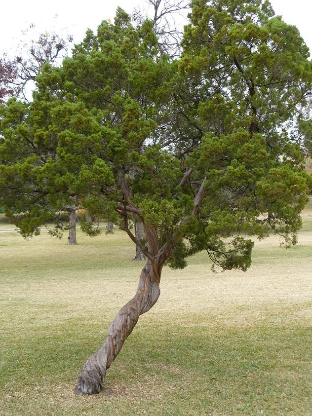 a Twisted Cedar (2)s