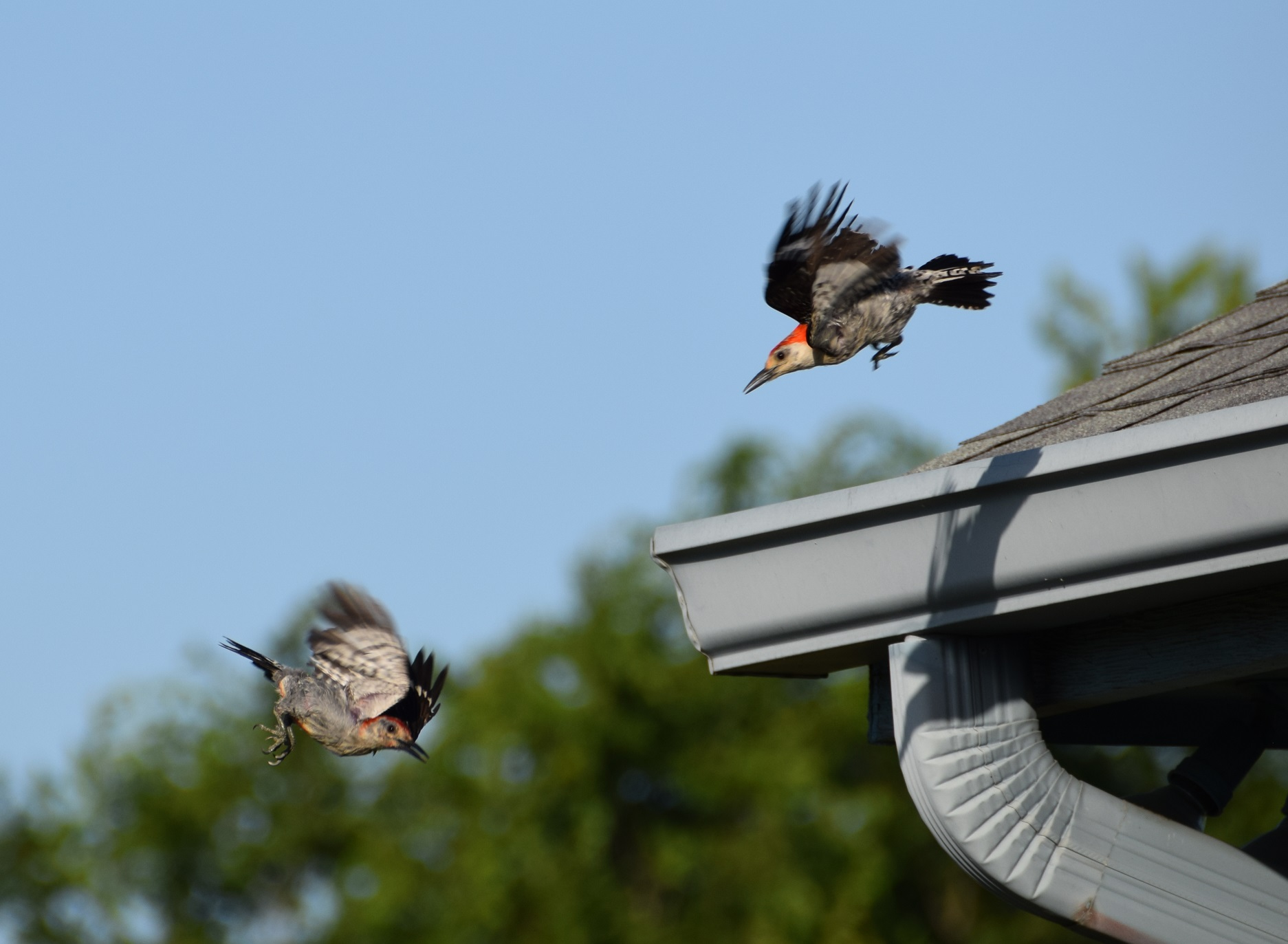 Ladder-backed woodpeckers