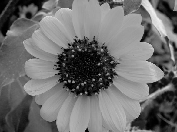Flowers Sunflower B&W s