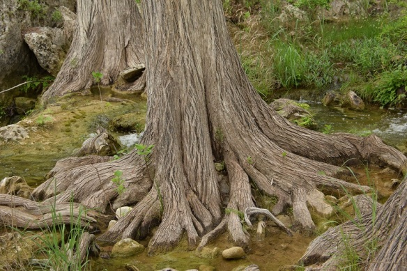 a Cypress Tree roots at Hamilton Pool s