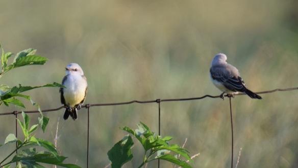 a Scissor-tailed flycatchers (14)s