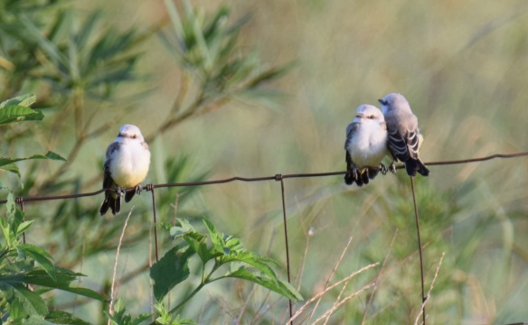 a Scissor-tailed Flycatchers (6)s