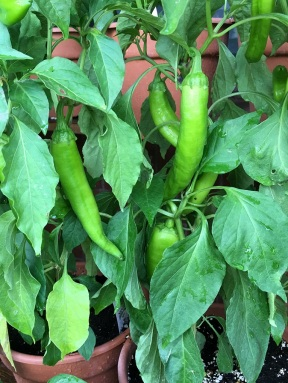 Or buy a Hatch chile plant and roast your own