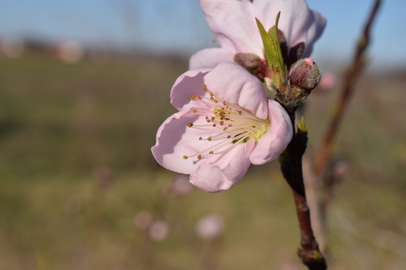 A peach blossom from 2015
