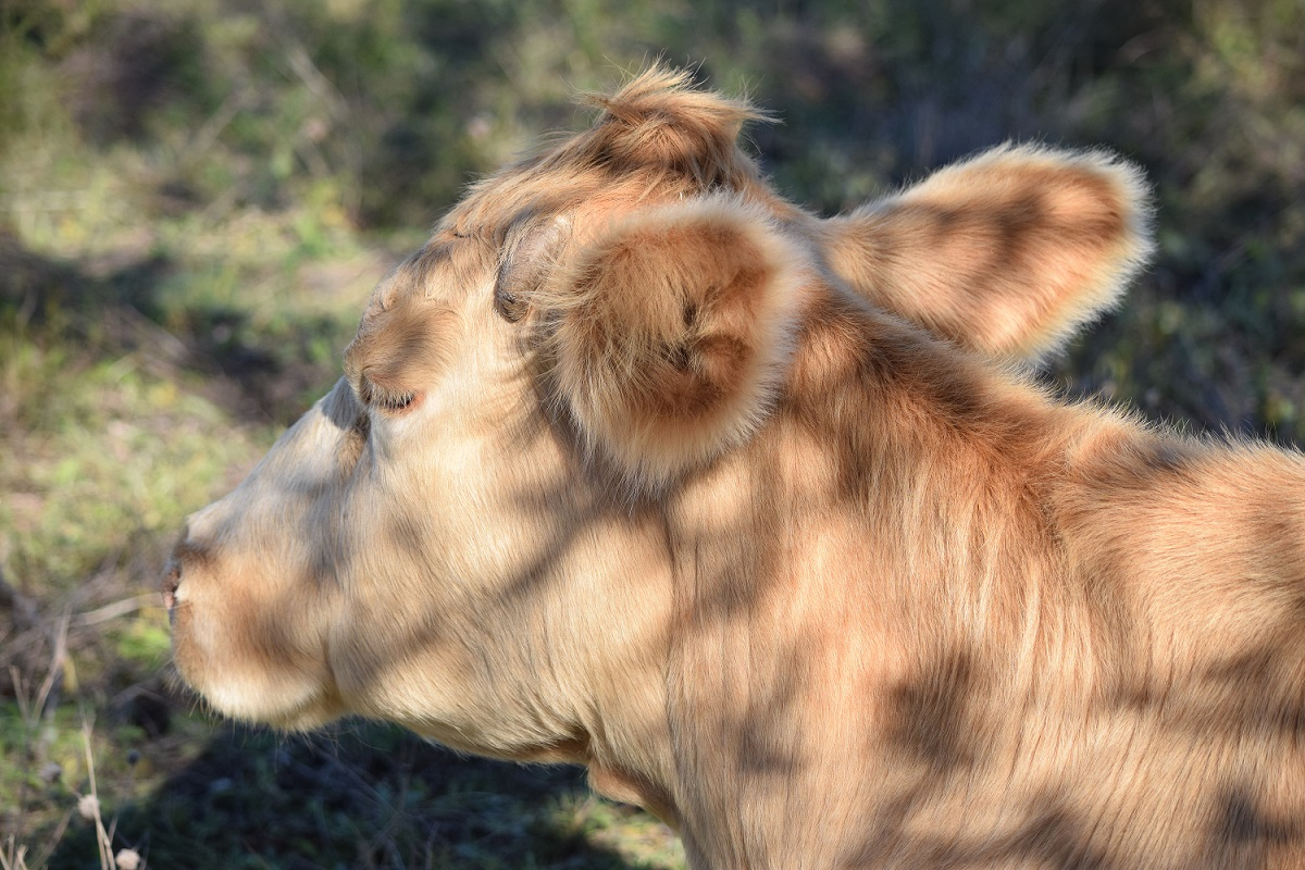 a Cow in Patchy Shade s