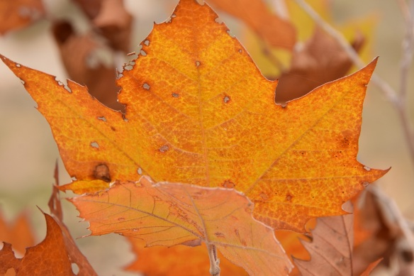 a-autumn-leaves-2s