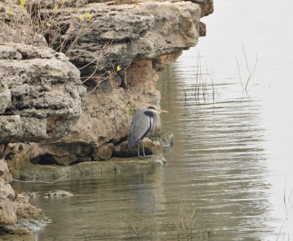 a-great-blue-heron-1s
