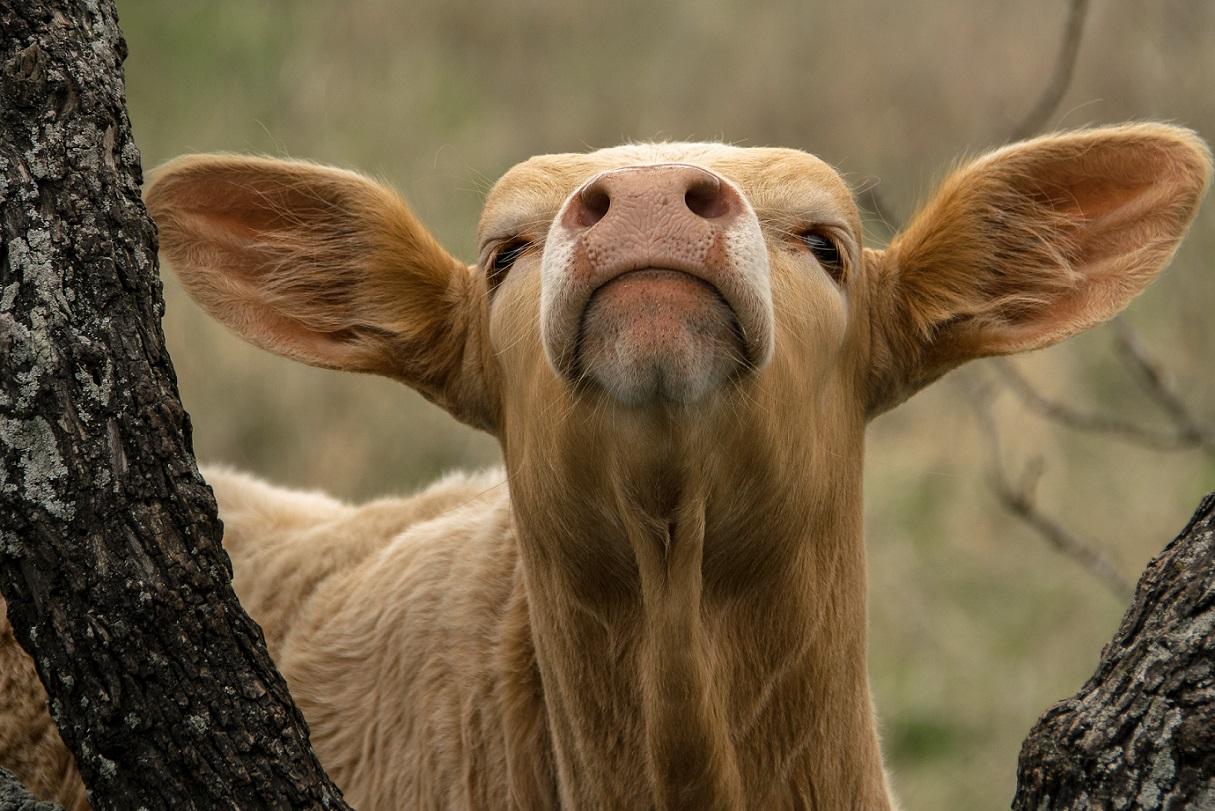 Blond Calf