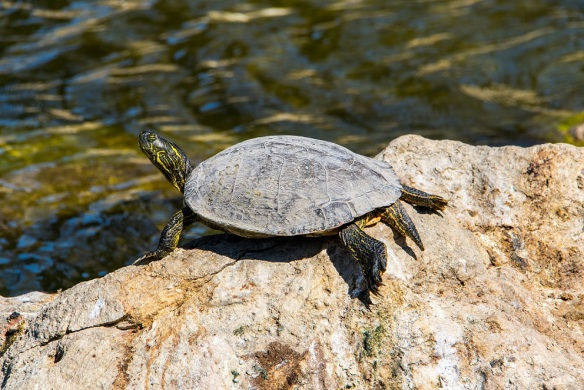 Turtle sunning itself on a rock in Hamilton Creek, Burnet, Texas