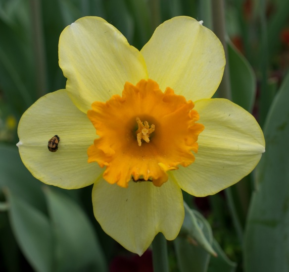 Daffodil at Dallas Blooms 2017