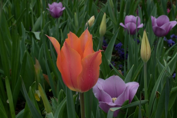 Tulips and greenery at Dallas Blooms 2017
