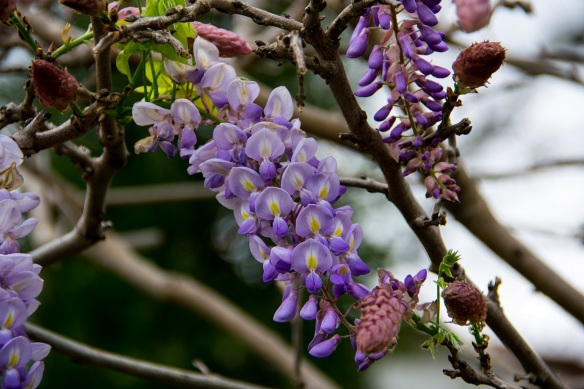 Wisteria at Dallas Blooms