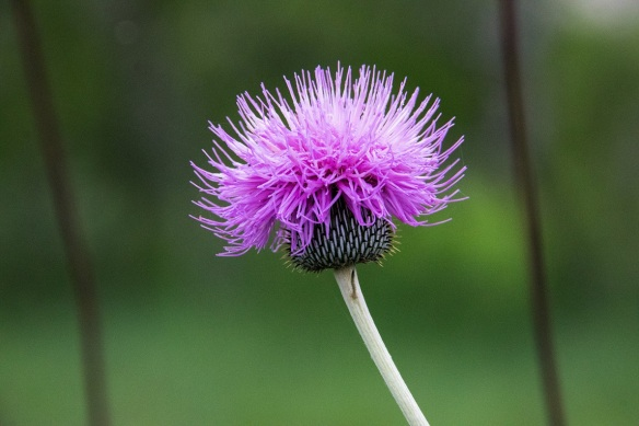 Thistle in the morning