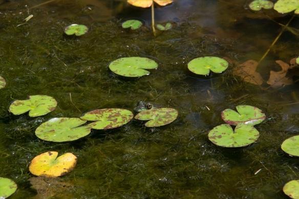 Frog Pond (3a)