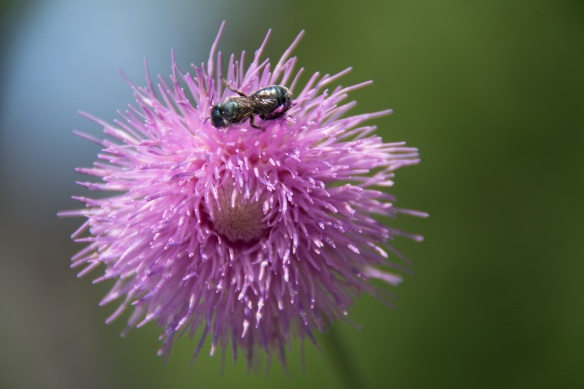 Thistle (3a)
