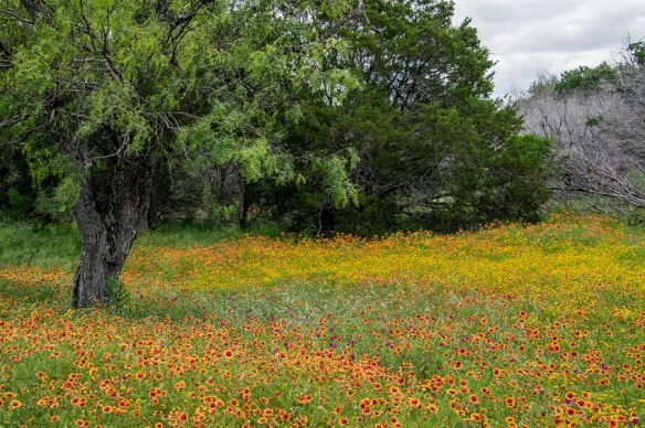 Mesquite Tree and Wildflowers