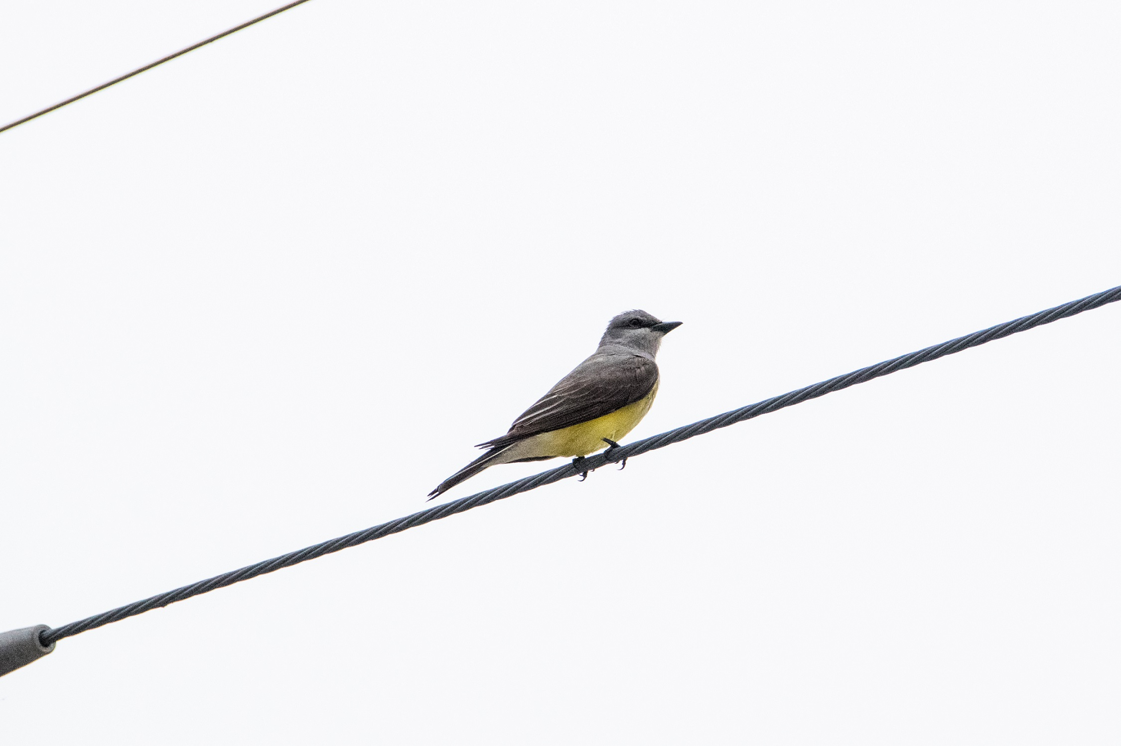 Western kingbird on a very grey day; Belton, Texas