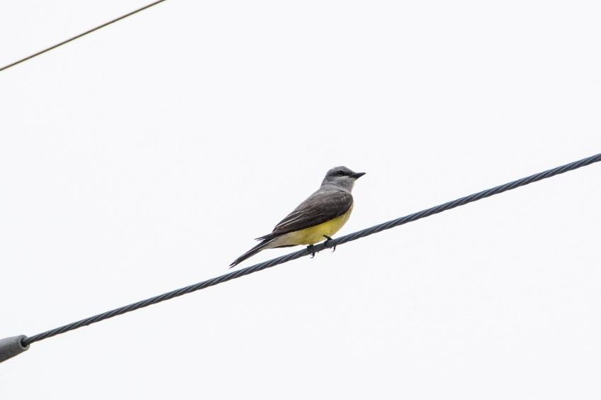 Western kingbird on a very grey day; Belton, Texas