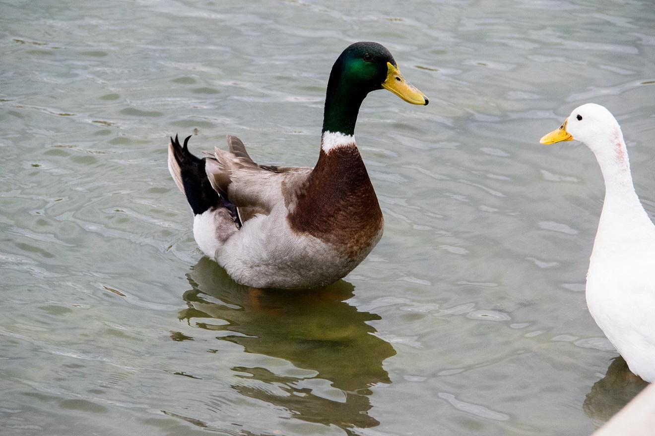 Ducks at Mueller (3)