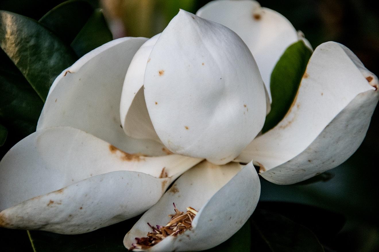 Magnolia (24)