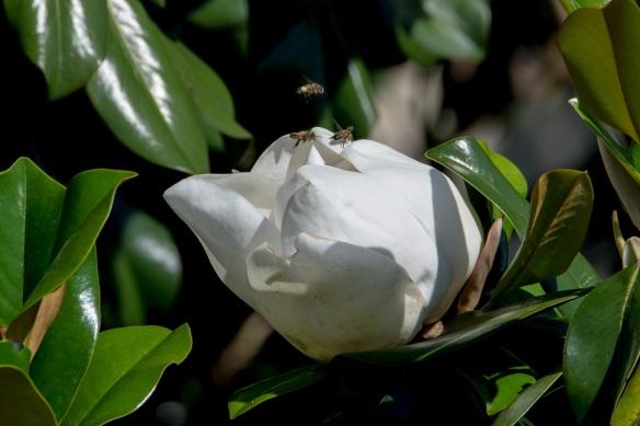 Magnolia (65)