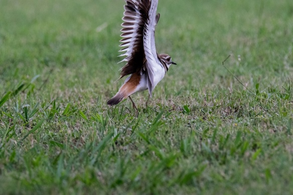 Killdeer family (1)