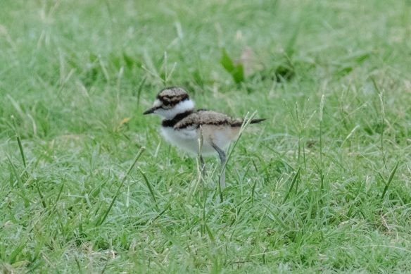 Killdeer family (2)