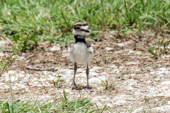 Killdeer family (3)