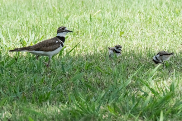 Killdeer family (4)