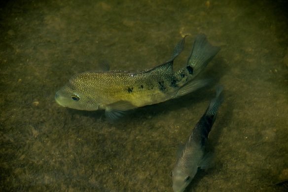 Cichlid in Lady Bird Lake (2)