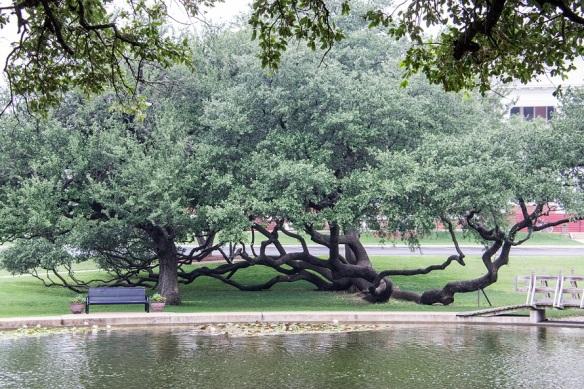 Millennium Oak Tree