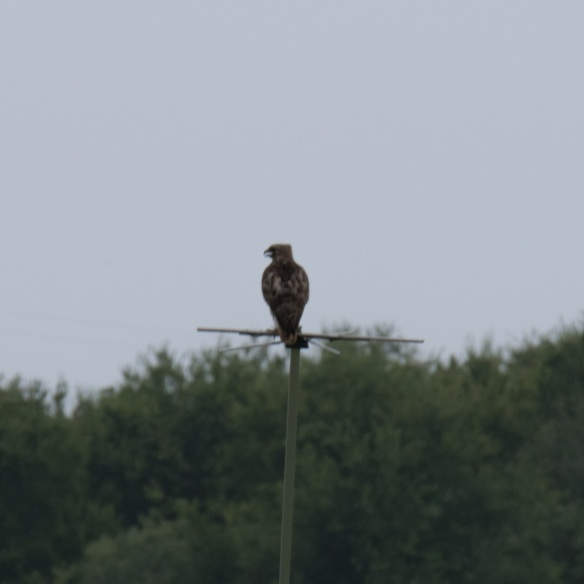 Hawk on perch 2017 07 24 (1)