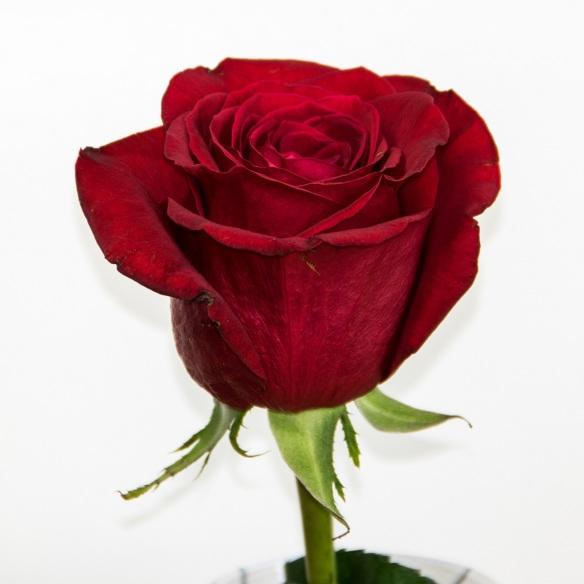 Rose 2017 07 22