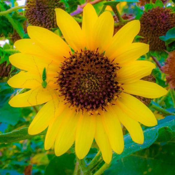 Sunflower with spider friend (4)