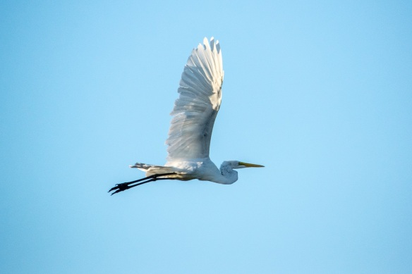 Great White Heron 01
