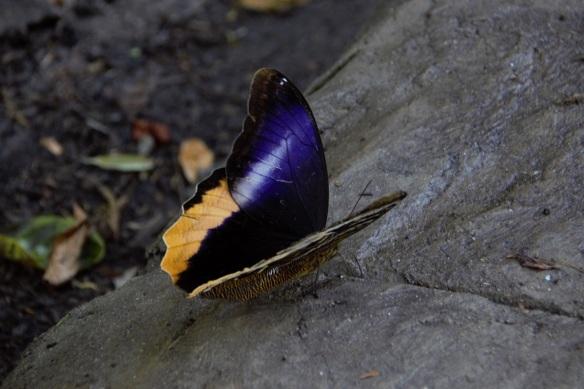 00s Owl Butterfly open wing