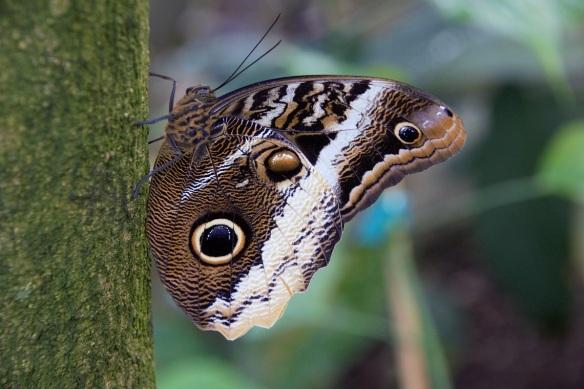 00s Owl Butterfly