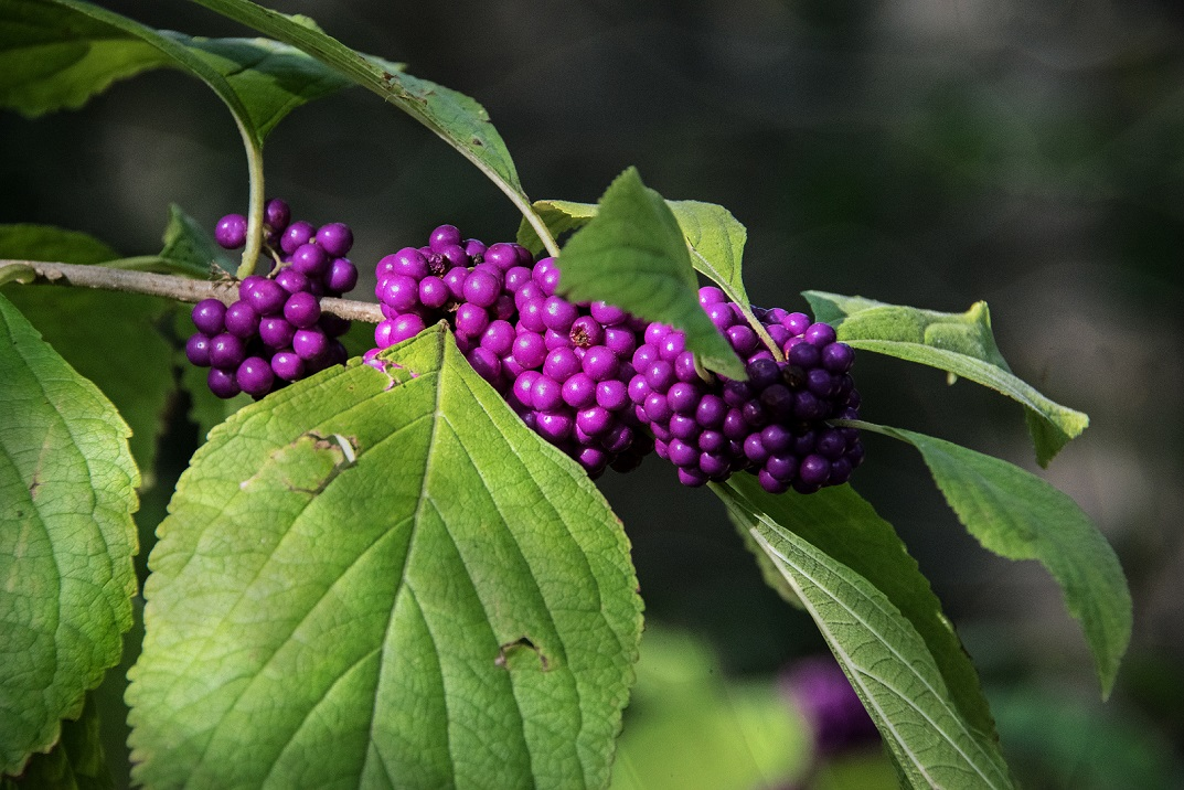 00s American Beauty Berry (1a)
