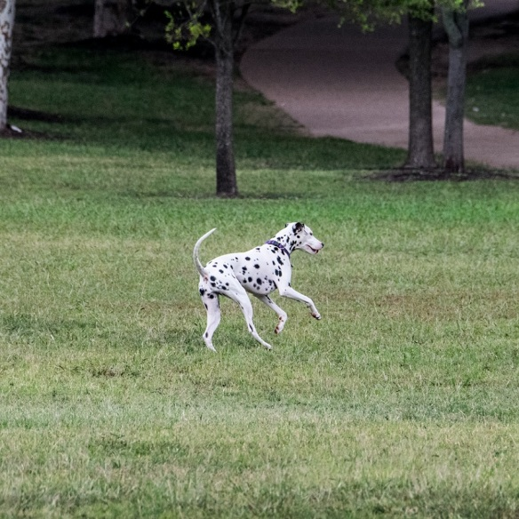 Dalmation at Mueller (1)