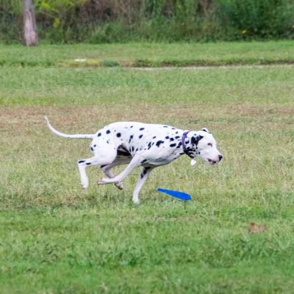 Dalmation at Mueller (2)