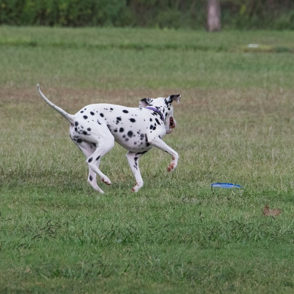 Dalmation at Mueller (3)