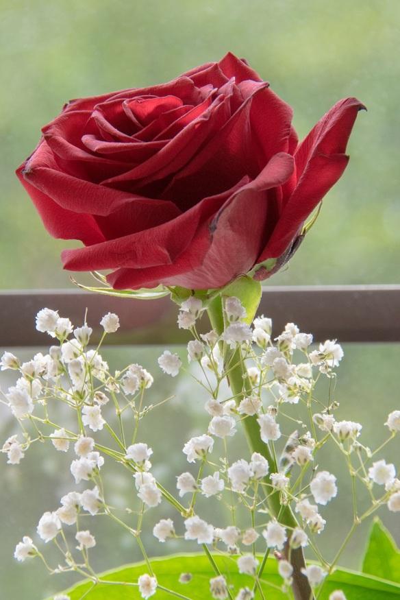 00s Rose in window