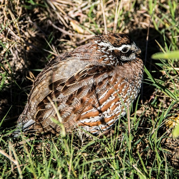 Northern bobwhite quail in Waring