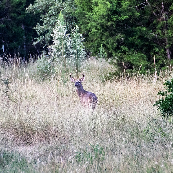 White Tailed Deer in New Braunfels (10)