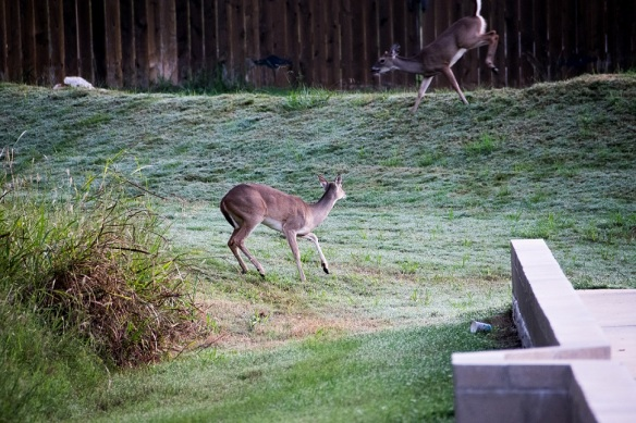 White Tailed Deer in New Braunfels (13)