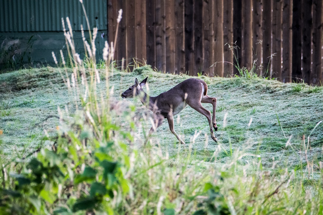 White Tailed Deer in New Braunfels (14)