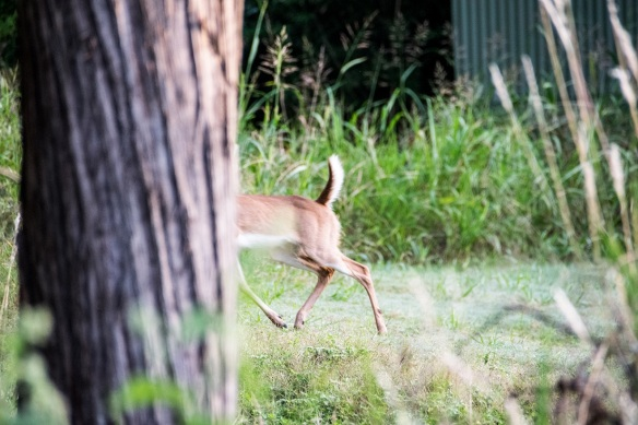 White Tailed Deer in New Braunfels (17)